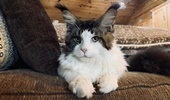Mountain Fork Maine Coon Kittens Imported European Bloodlines Maine Coon Kittens For Sale