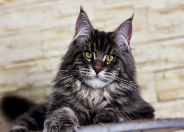 Mountain Fork Maine Coon Kittens, Imported European bloodlines